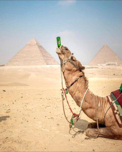 пьющий верблюд